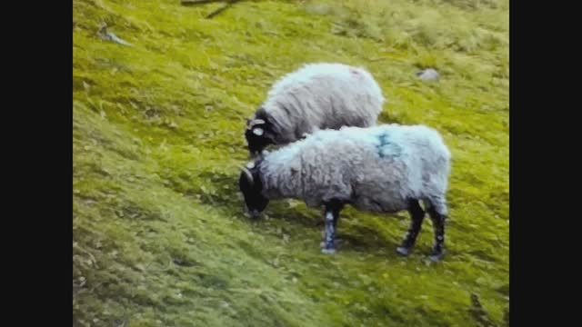 grazing sheep - meadow stock videos & royalty-free footage
