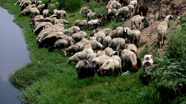 grazing sheep - tame stock videos and b-roll footage