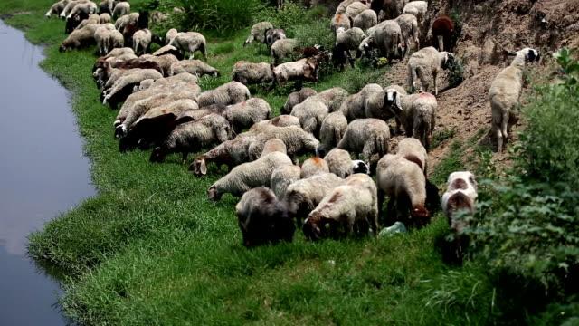 grazing sheep - gregge di pecore video stock e b–roll
