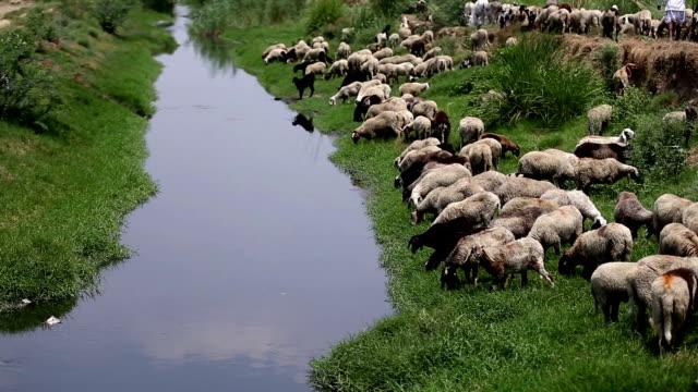 vídeos de stock e filmes b-roll de grazing sheep - domesticado