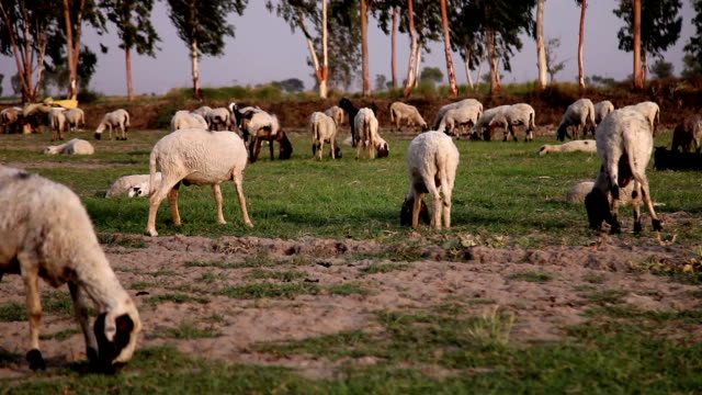 grazing sheep - herd stock videos & royalty-free footage