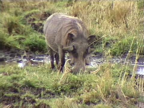 vídeos de stock, filmes e b-roll de grazing warthog - javali africano