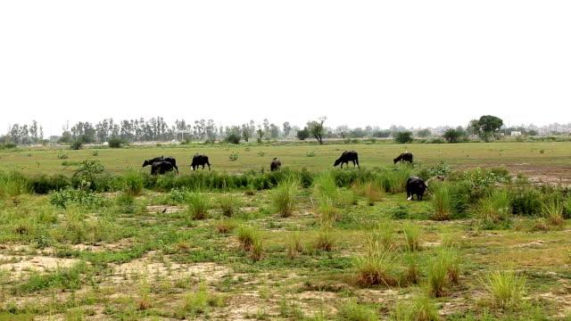 Grazing water buffalo