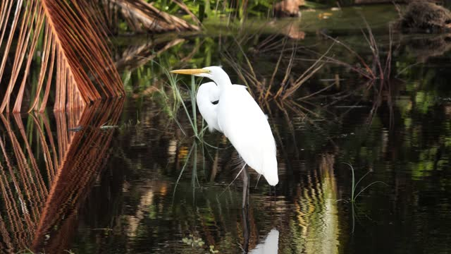 great american egret - great egret stock videos & royalty-free footage