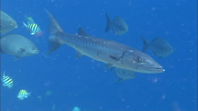 cu, pan, great barracuda (sphyraena barracuda) and other fishes swimming, peter island, british virgin islands, united kingdom - barracuda stock videos & royalty-free footage