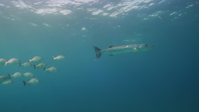 vídeos y material grabado en eventos de stock de great barracuda and school of fish - playa del carmen