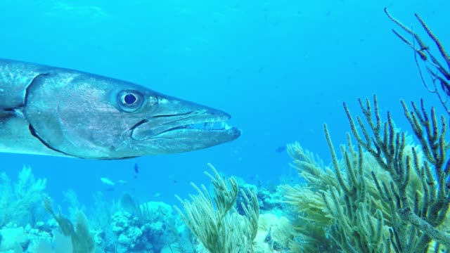 great barracuda are enormous and intimidating fish. they can grow to 6 feet in length and weigh as much as 55 pounds. with a mouth full of huge,... - バラクーダ点の映像素材/bロール