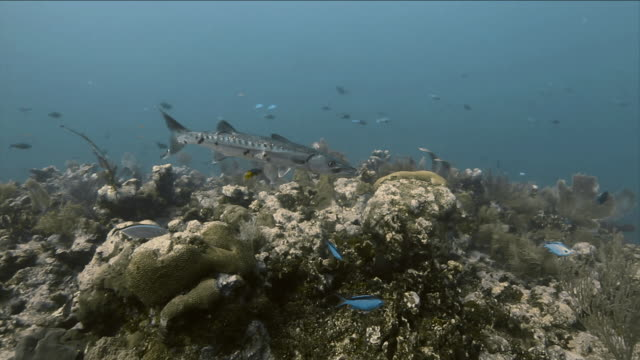 """""""Great Barracuda, Beaugregory Damselfish and Blue Chromis swimming around coral rock"""""""