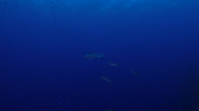 Great barracuda fish, coral reef, Palau