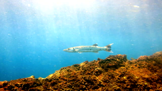 great barracuda (sphyraena barracuda) fish in shallow lagoon, phi phi, thailand. - barracuda stock videos & royalty-free footage