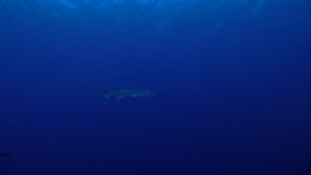 Great barracuda fish swimming undersea