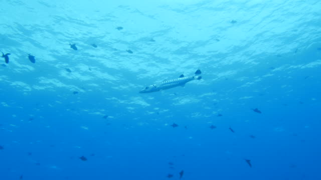 great barracuda fish underwater - barracuda stock videos & royalty-free footage