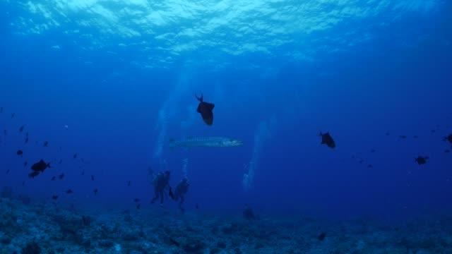 great barracuda fish - palau video stock e b–roll