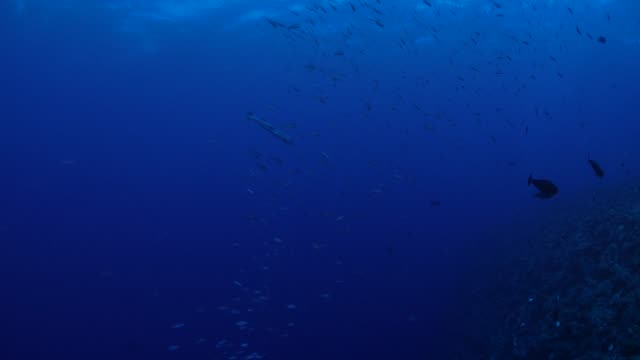 Great barracuda hunting in school of fusilier fish undersea