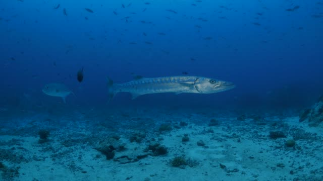 Große Barrakudas, Schule von Makrelen makrelenschwarm, undersea