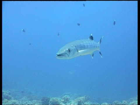 Great Barracuda swimming in blue water, Sipadan, Borneo, Malaysia