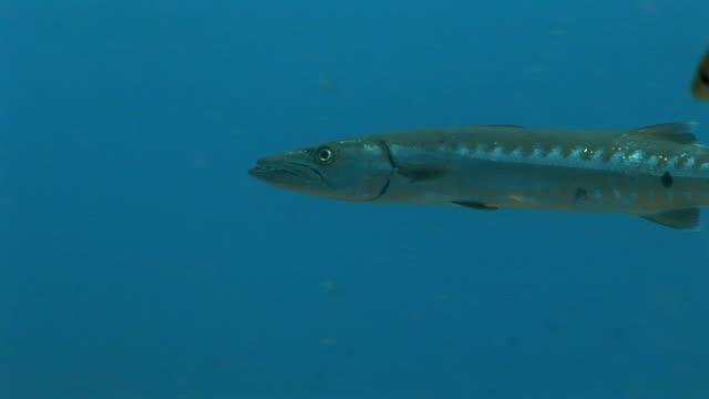 MS, Great barracuda (Sphyraena barracuda) swimming in sea, Saint Lucia