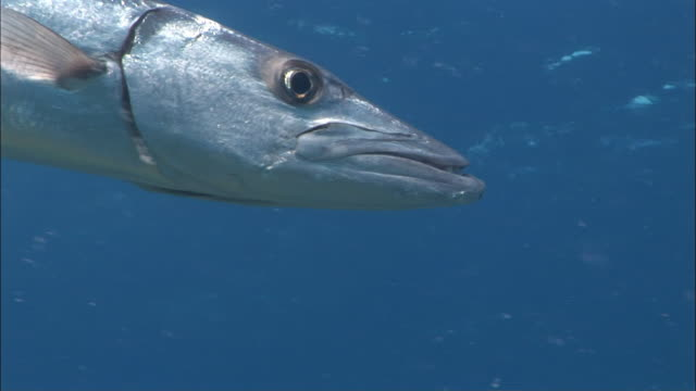 cu, great barracuda (sphyraena barracuda) underwater, peter island, british virgin islands, united kingdom - barracuda stock videos & royalty-free footage