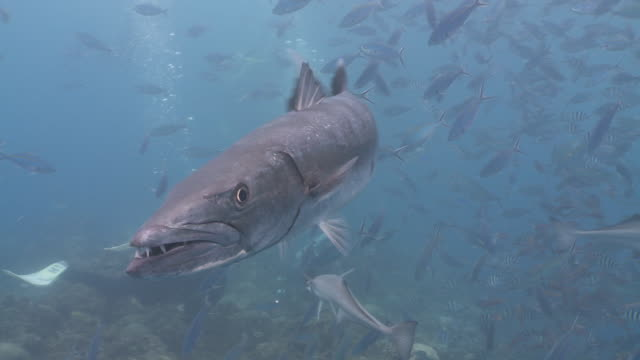 Great Barracuda very close to camera