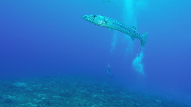 great barracuda - barracuda stock videos & royalty-free footage