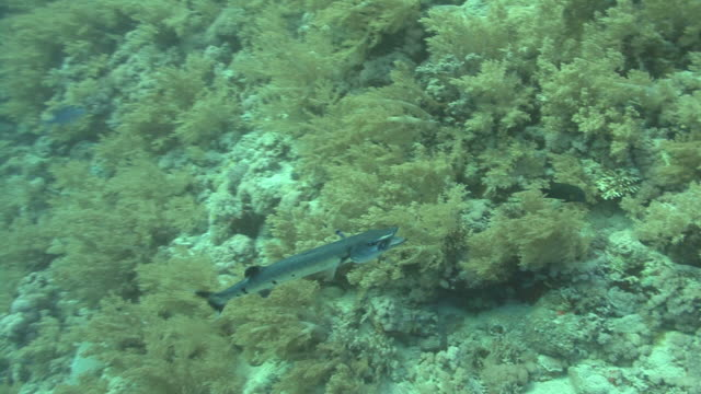 Great barracuda( Sphyreana barracuda)being cleaned, Red sea, Egypt