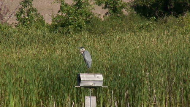 great blue heron 1 , sd 60i - great blue heron stock videos and b-roll footage