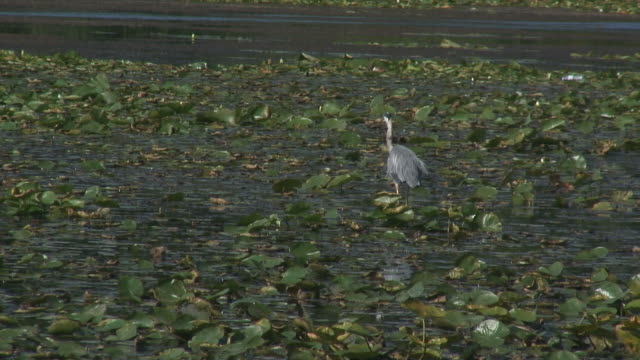 great blue heron 11  1080/60i - great blue heron stock videos and b-roll footage