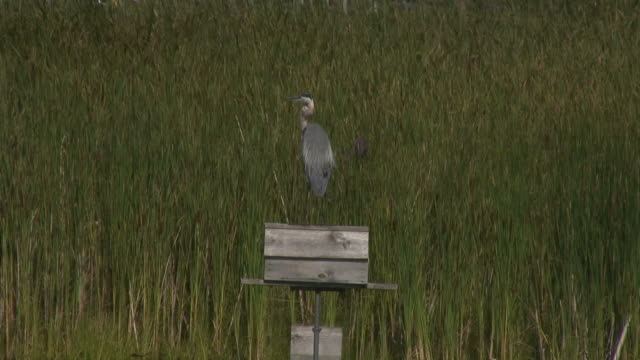 great blue heron 3  1080/60i - great blue heron stock videos and b-roll footage
