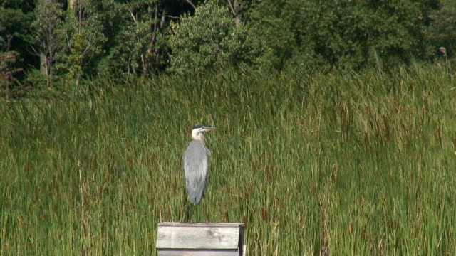 great blue heron 4  1080/60i - great blue heron stock videos and b-roll footage