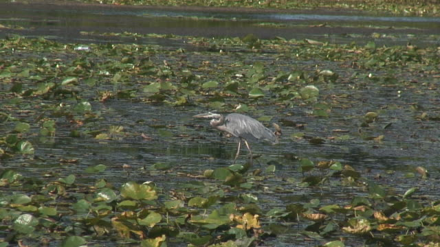 great blue heron 7  1080/60i - great blue heron stock videos and b-roll footage