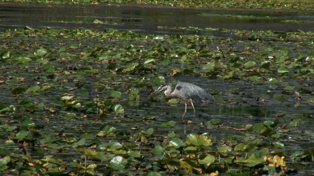 great blue heron 8  1080/60i - great blue heron stock videos and b-roll footage