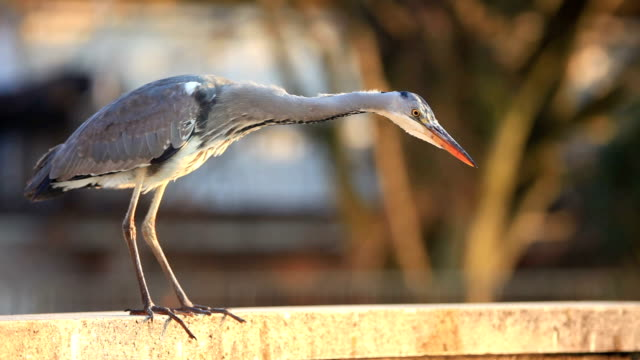great blue heron ardea finding fish - great blue heron stock videos and b-roll footage
