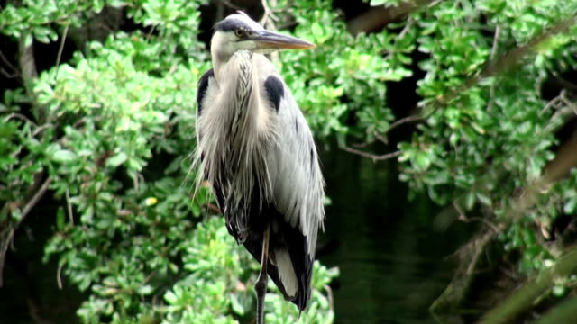 great blue heron, ardea herodias, on a river perch - great blue heron stock videos and b-roll footage