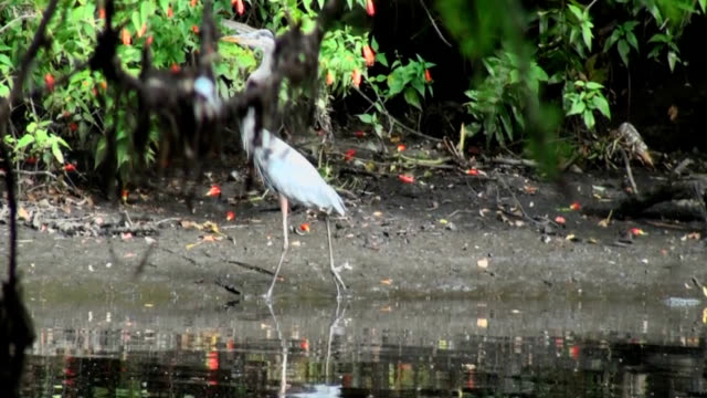 great blue heron, ardea herodias, walking along rivers edge - great blue heron stock videos and b-roll footage