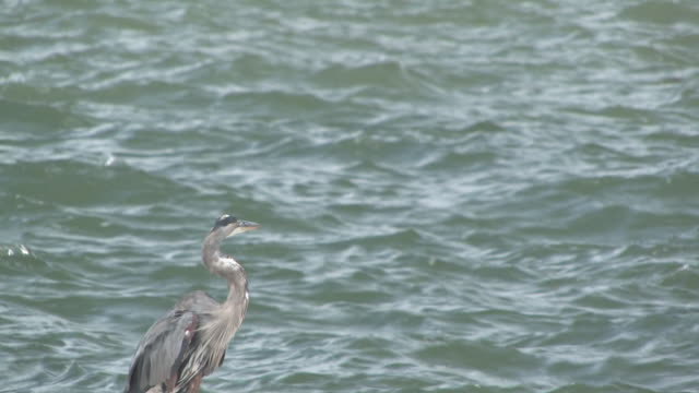 great blue heron am meer-hd - 1 bis 30 - wasservogel stock-videos und b-roll-filmmaterial