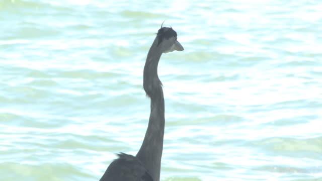 great blue heron am ozean 10 bis 30 hd - tierkörper stock-videos und b-roll-filmmaterial