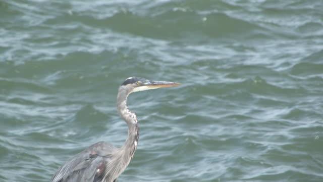 great blue heron auf das meer zwei hd-bis 30 - tierkörper stock-videos und b-roll-filmmaterial