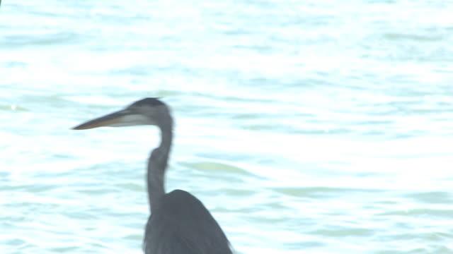 great blue heron im ocean 9-hd-bis 30 - maul stock-videos und b-roll-filmmaterial