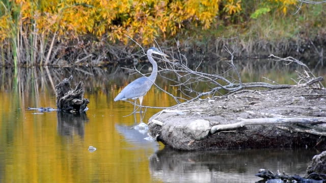great blue heron bird in a canadian pond - water bird stock videos & royalty-free footage