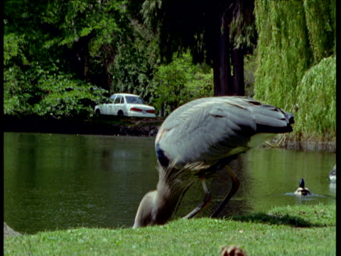 great blue heron feeds in park, victoria, canada - カナダ ビクトリア市点の映像素材/bロール