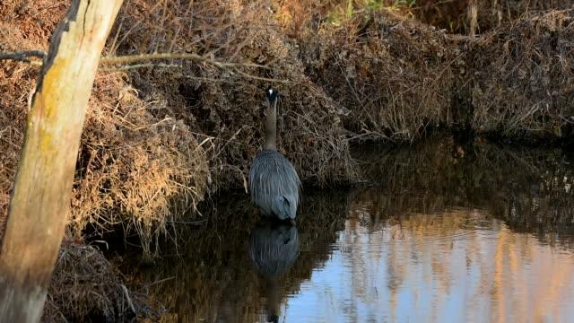 great blue heron fishing - water bird stock videos & royalty-free footage