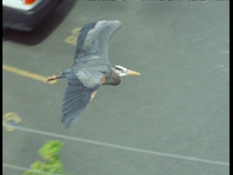 great blue heron flies over buildings and streets, victoria, canada - bunter reiher stock-videos und b-roll-filmmaterial