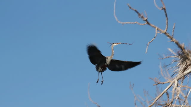 MS TS  Great blue heron flying into nest with branch / Boulder, Colorado, United States