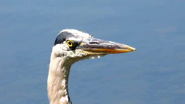 great blue heron profile - great blue heron stock videos and b-roll footage