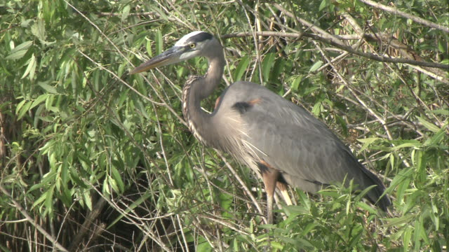 ms zo great blue heron standing in marshy area / everglades, florida, usa - great blue heron stock videos and b-roll footage