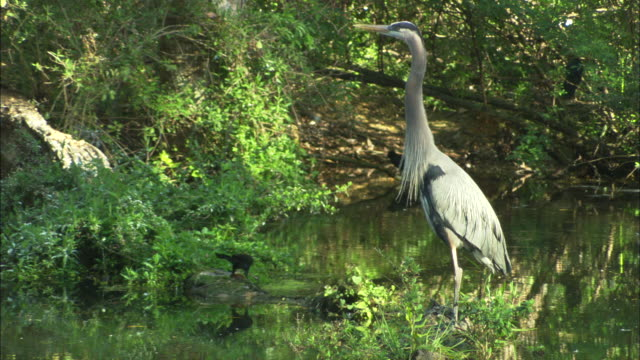 great blue heron, stands in shallows, florida, north atlantic ocean  - great blue heron stock videos and b-roll footage