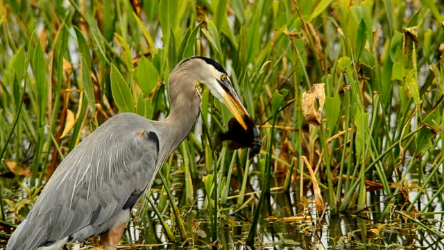 great blue heron swallowing a large dark fish - great blue heron stock videos and b-roll footage