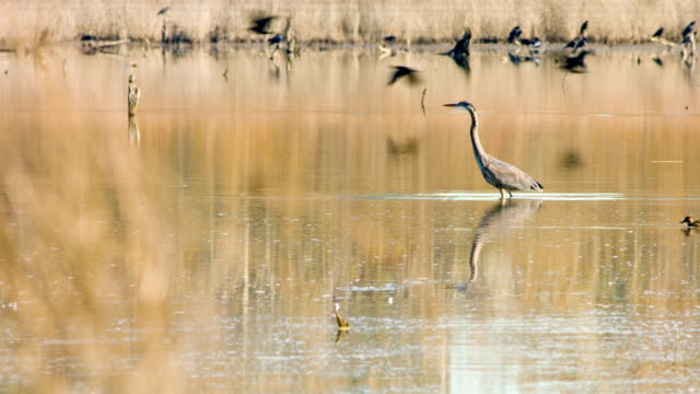 great blue heron - great blue heron stock videos and b-roll footage