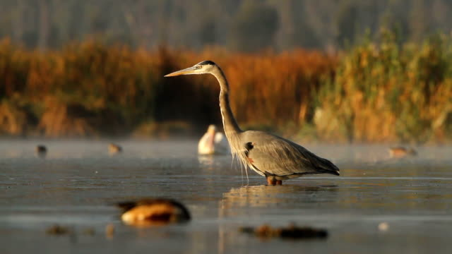 great blue heron  - bunter reiher stock-videos und b-roll-filmmaterial