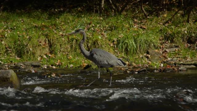 vídeos de stock e filmes b-roll de great blue heron wading in slow motion telephoto shot - equipamento fotográfico